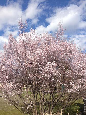 彼岸桜が咲きました