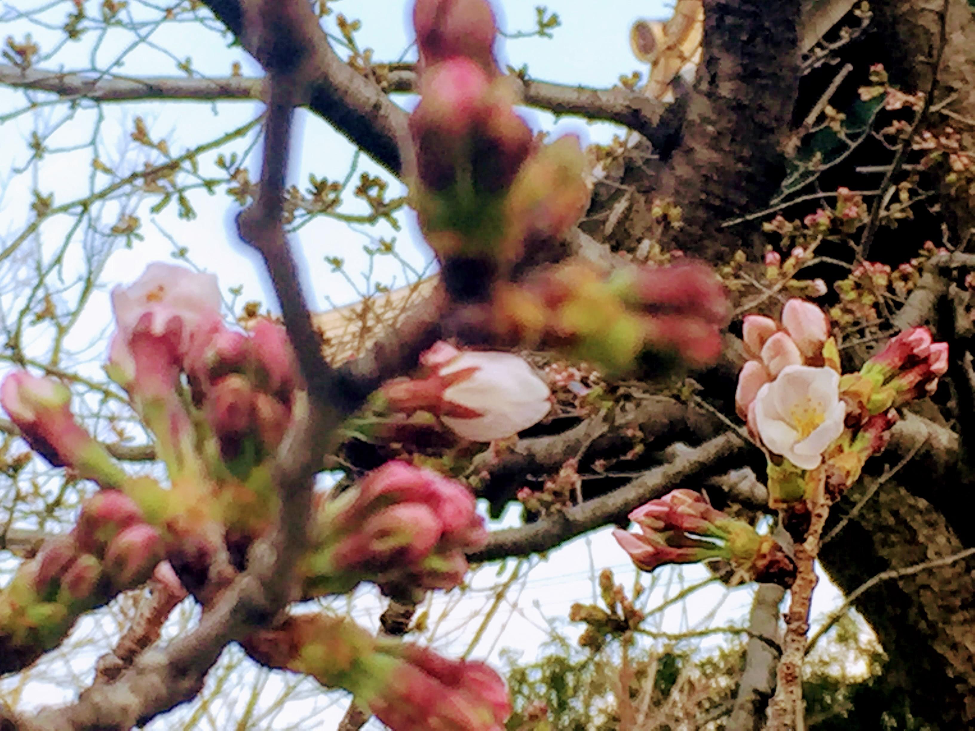 桜が開花しました